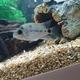White Cichlid