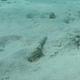 Rosy Razorfish (Juvenile)