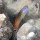Tailspot Coralblenny