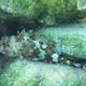 Madeira Rockfish