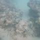 Ocean Surgeonfish