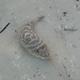 Checkered Pufferfish