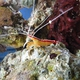Ambon Cleaner Shrimp