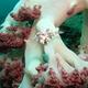 Bristle-tailed Filefish (Juvenile)