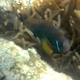 Oman Anemonefish