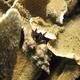 Morgan's Hermit Crab