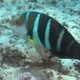 Barred Thicklip Wrasse