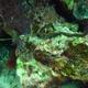 Green Spoon Worm