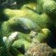 Longnose Filefish