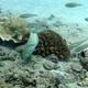Black-nosed Cardinalfish