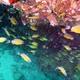 Ring-tailed Cardinalfish