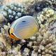 Indian Redfin Butterflyfish