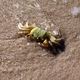 Golden Ghost Crab