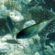 Maldives Damselfish