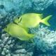 Coral Rabbitfish