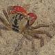 Red Rock Crab