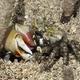 Porcelain Fiddler Crab