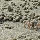 Inflata Sand Bubbler Crab