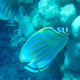 Ornate Butterflyfish