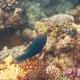 Chameleon Parrotfish