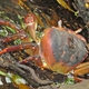 Brown Land Crab