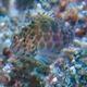 Threadfin Hawkfish