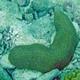 Mole Coral