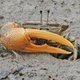 Orange Fiddler Crab