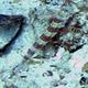 Gorgeous Shrimpgoby