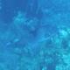 Oceanic Triggerfish