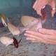 Violet-lined Parrotfish
