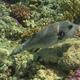 Many-lined Pufferfish