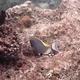 Powderblue Surgeonfish