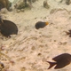 Filament-fin Parrotfish (Juvenile)