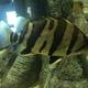 Mekong Tiger Perch