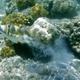 Assasi Triggerfish