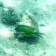 Green Chromis