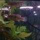 Flagfish