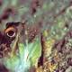 Gold-specs Jawfish