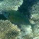 Forktail Rabbitfish