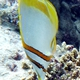 Margined Coralfish