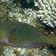 Filamentfin Parrotfish