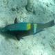 Yellowbar Parrotfish