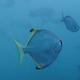 Diamondfish