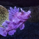 Paddleflap Scorpionfish