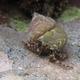 Pagurus Hermit Crab