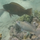 Purple-brown Parrotfish