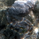 Eyed Sea Cucumber