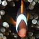 Northwest Australian Anemonefish