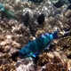 Steephead Parrotfish